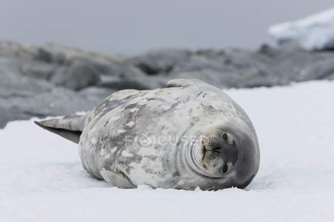 Phoque de Weddell, gisant sur le sol — Photo de stock
