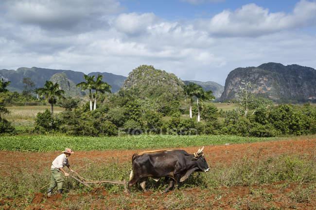Champ Labour agriculteur avec deux taureaux — Photo de stock