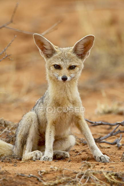 Cape Fox, Vulpes chama — Stockfoto