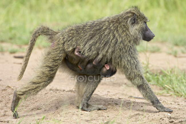 Baboons, infant riding on mothers chest — Stock Photo