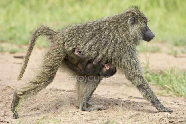 Babuínos, infantis, montando no peito de mães — Fotografia de Stock