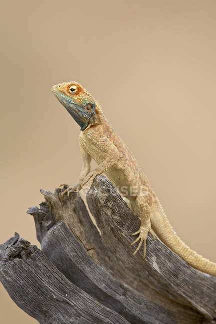 Ground agama on wooden branch — Stock Photo