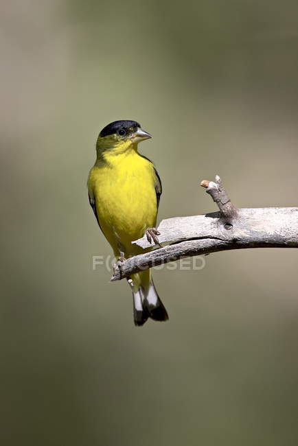 Male lesser goldfinch — Stock Photo