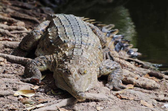 Saltwater crocodile laying on ground — Stock Photo