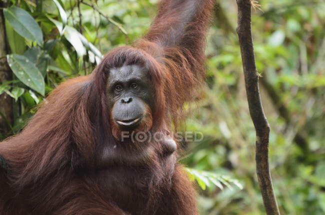 Gran orangután en bosque - foto de stock