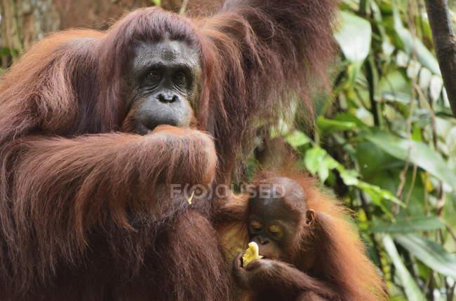 Orangután bebé comiendo - foto de stock