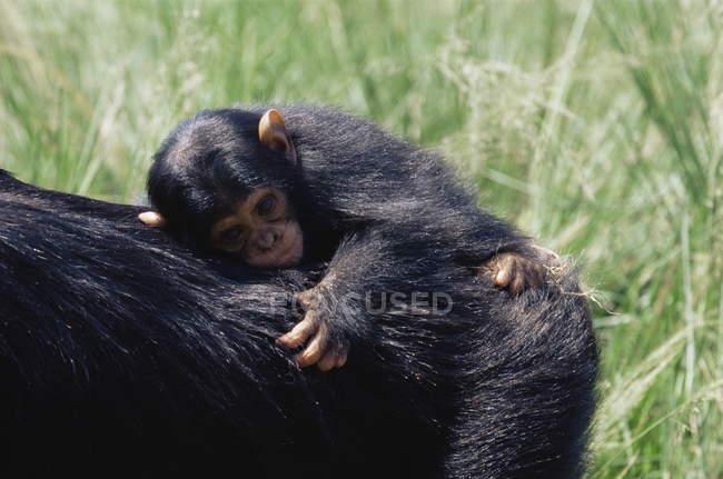 Bebé de chimpancé en cautiverio - foto de stock
