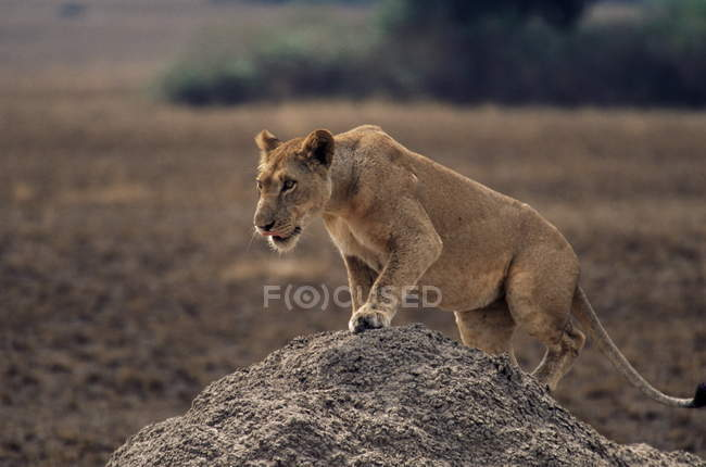Lioness stepping on termite mound — Stock Photo