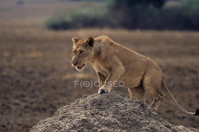 Lioness stepping on termite mound — Stockfoto