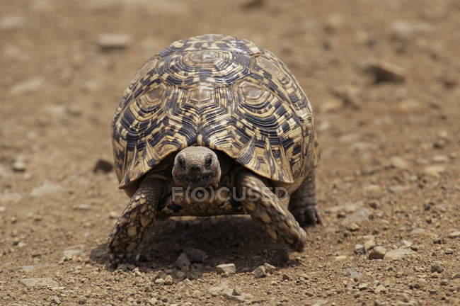 Leopard tortoise stepping on dry ground — Stock Photo