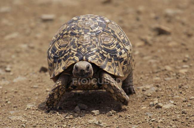 Tartaruga leopardo pisar em solo seco — Fotografia de Stock