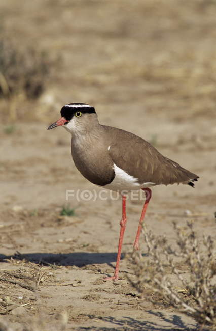 Crowned plover on ground — Stock Photo