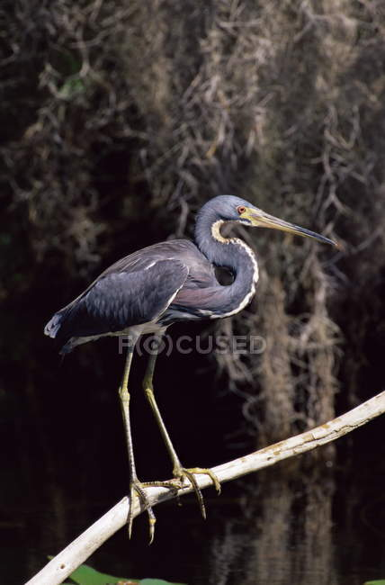 Airone di Louisiana sul ramo di un albero — Foto stock