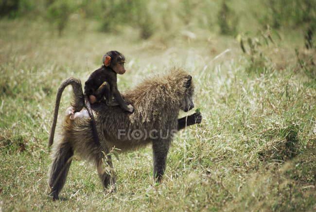 Olive Paviane Mutter und baby — Stockfoto