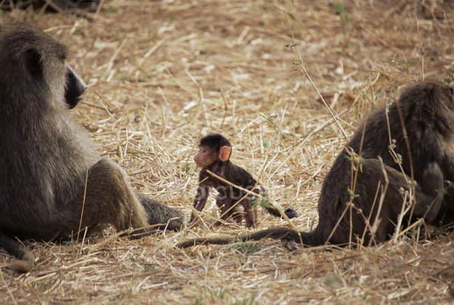 Olive Paviane weiblich und Kleinkind — Stockfoto