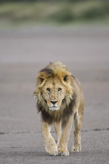 Leão, caminhando em direção a câmera — Fotografia de Stock