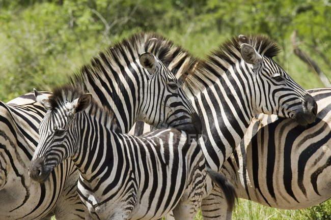 Загальні зебр або Burchells зебр — стокове фото