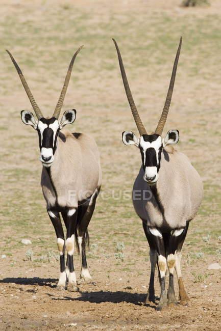 Two gemsboks in Kgalagadi Transfrontier Park — Stockfoto