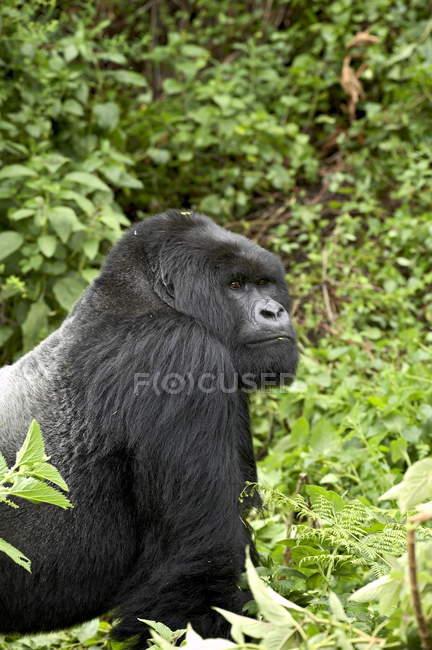 Gorila de montaña - foto de stock