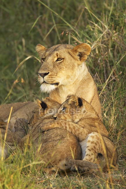 Lioness with two cubs — Stock Photo