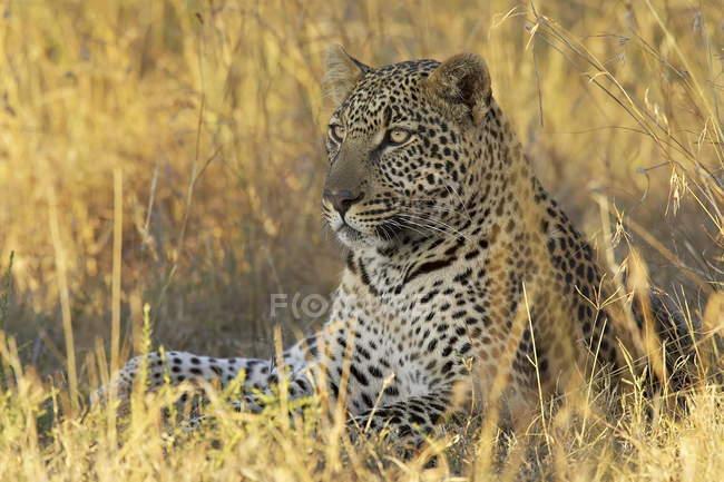 Leopardo tumbado en el campo de tallgrass - foto de stock