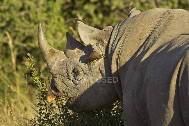 Black rhinoceros with yellow-billed oxpecker — Stock Photo
