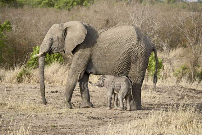 Африканських слонів, проте Африкана — стокове фото