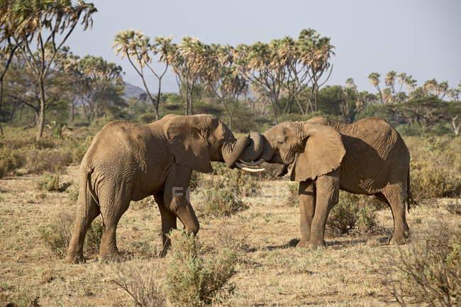 Zwei afrikanische Elefanten kämpfen — Stockfoto