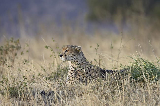 Ghepardo che si trova in pianura — Foto stock