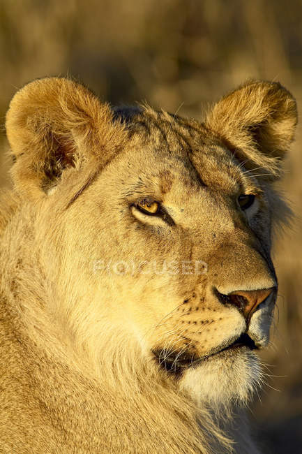 Young male Lion, Panthera leo — Stock Photo