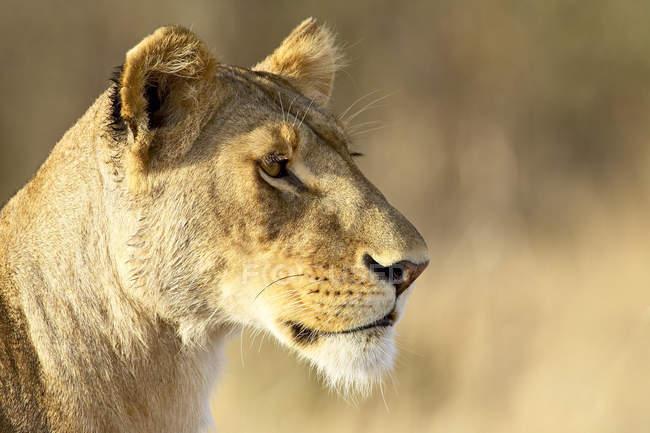 Leoa, Panthera leo — Fotografia de Stock