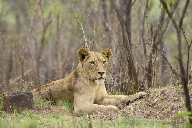 Female Lion, Panthera leo — Stock Photo