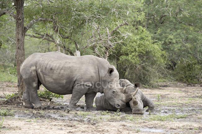 Dois rinocerontes brancos — Fotografia de Stock