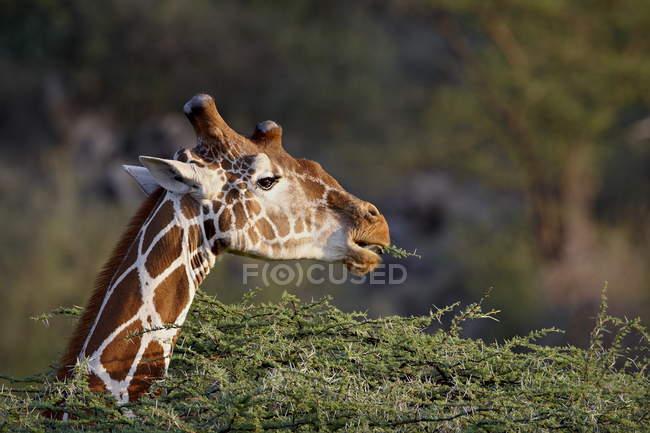 Giraffa che mangia i cespugli di reticolato — Foto stock