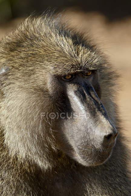 Оливкова Бабуїн в Самбур Національного заповідника — стокове фото