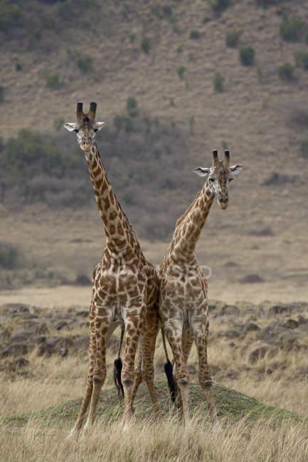 Два мужчины масаи жирафы — стоковое фото
