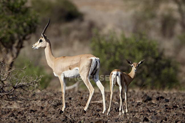 Grants gazelle and calf — Stock Photo
