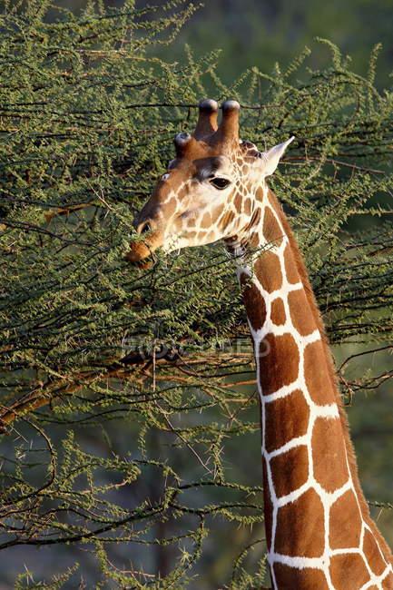 Reticulated giraffe eating bush tree — Stock Photo