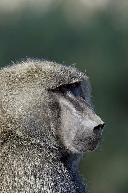 Olive baboon with blurred background — Stock Photo