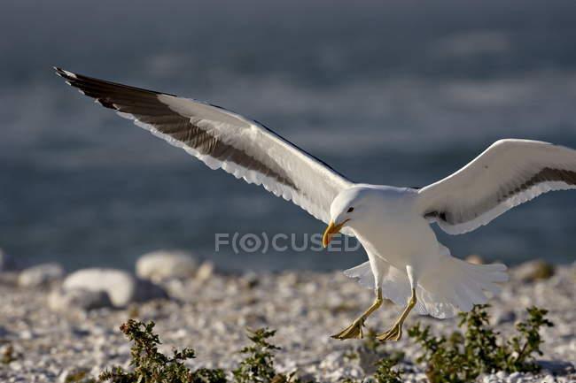 Cape gull landing — Stockfoto