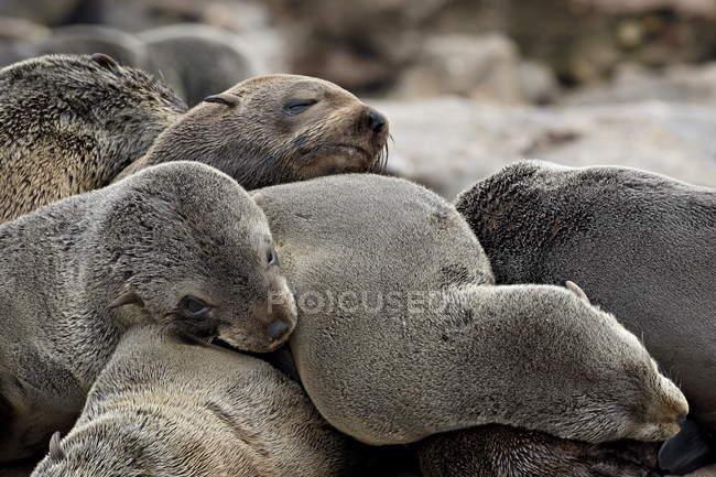 Kap-Seebär zusammen liegen — Stockfoto