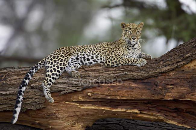 Leopardo en el árbol - foto de stock
