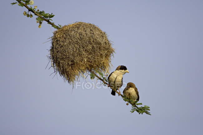 Black-capped tejedoras cerca de nido - foto de stock