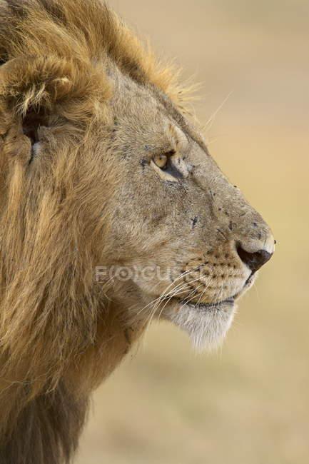 Leone, panthera leo — Foto stock