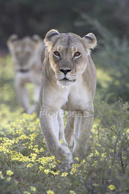 Lionesses, Panthera leo — Stock Photo