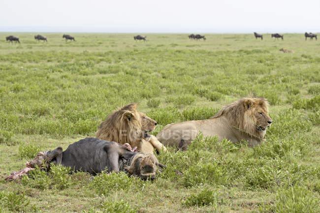 Due leoni, Panthera leo — Foto stock