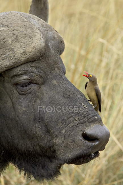 Ed-billed Oxpecker und Kaffernbüffel — Stockfoto