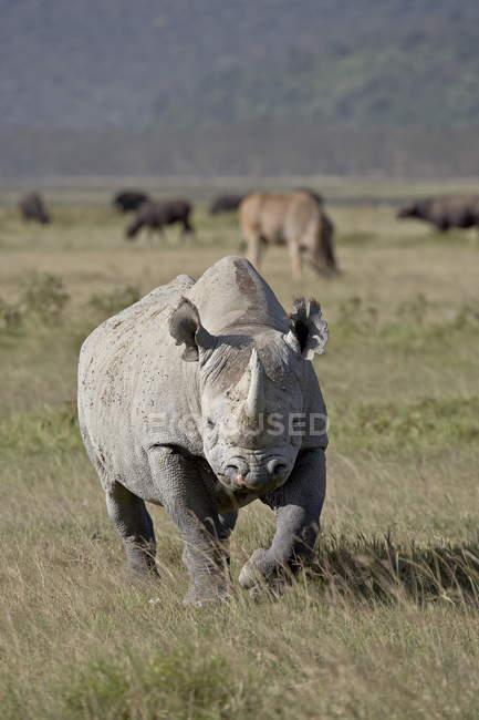 Rhinocéros noirs, lèvres crochet rhinocéros — Photo de stock