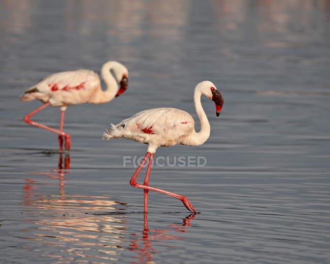 Zwei flamingos — Stockfoto