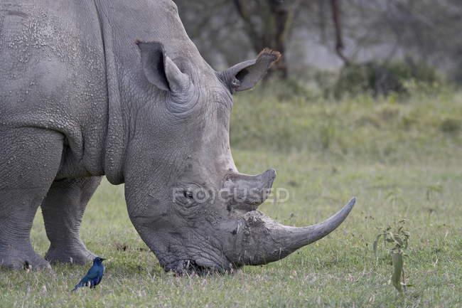 Белый носорог, ceratotherium simum — стоковое фото